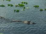 The Gators Head
