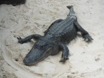 A gator flat out